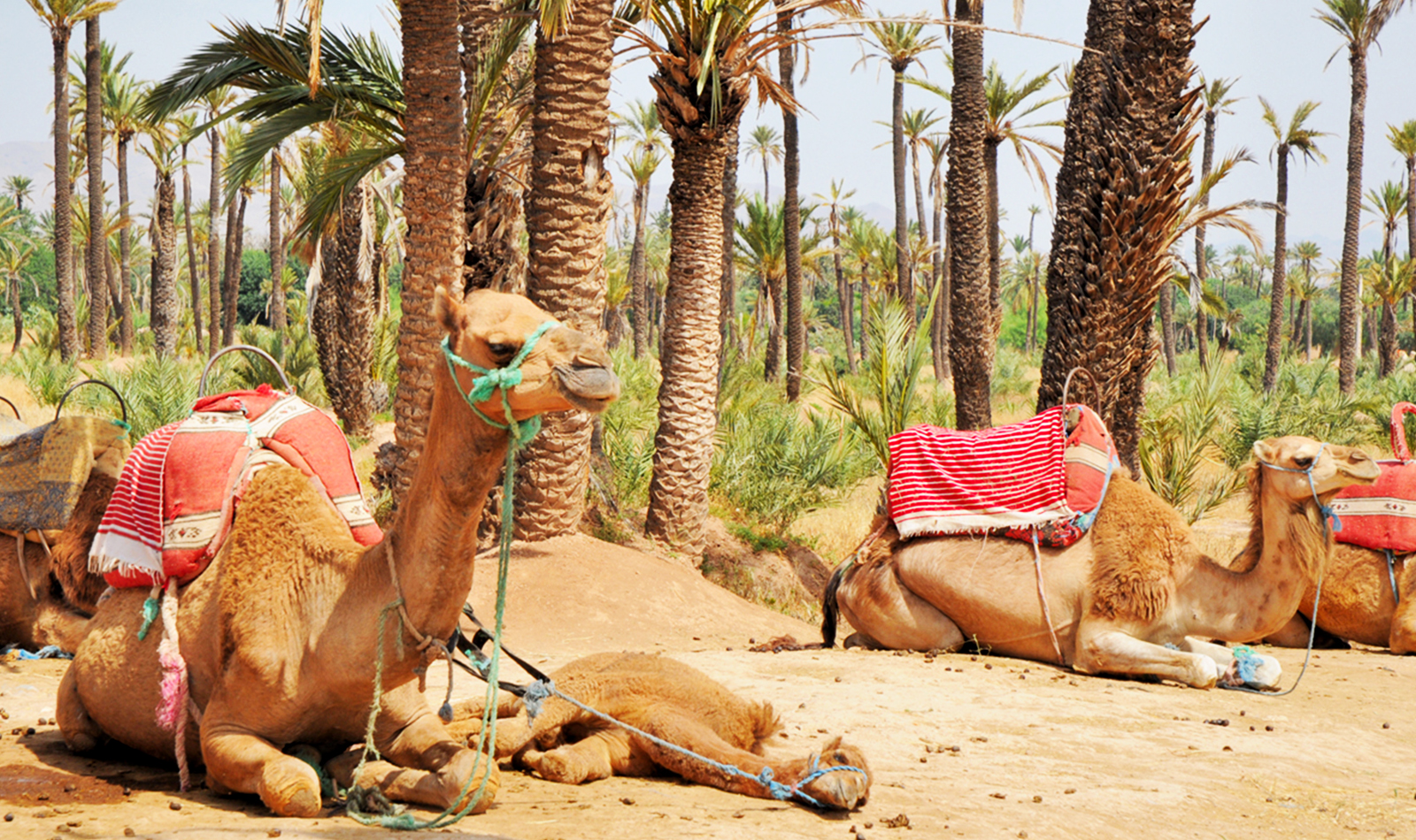 CAMEL RIDE NEAR TO MARRAKECH.